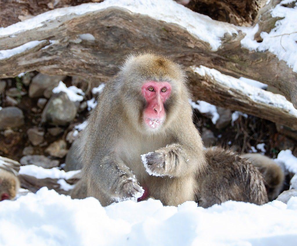 Jigokudani Park Monkey Japan
