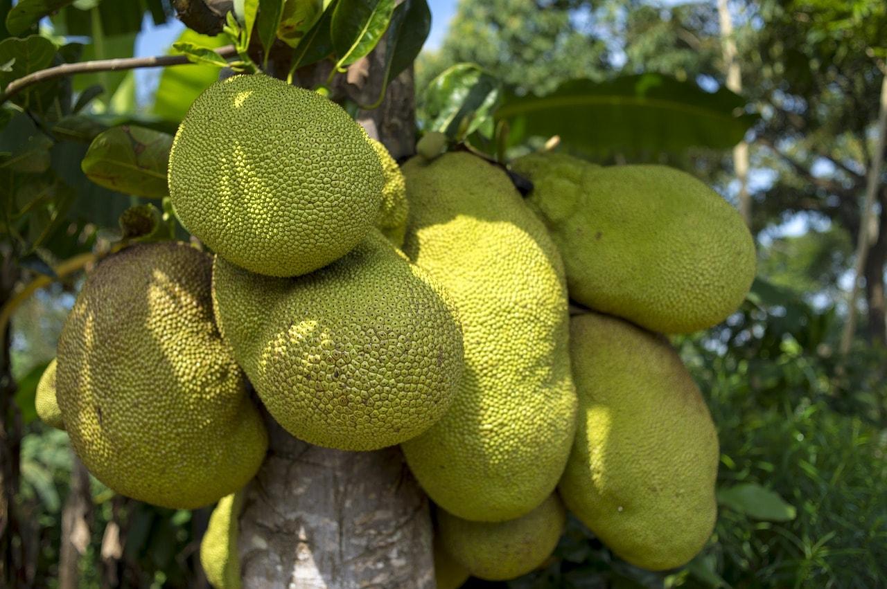 jakcfruit kerala